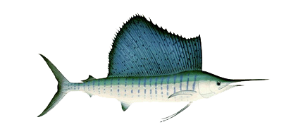 pacific-sailfish