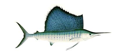 pacific-sailfish